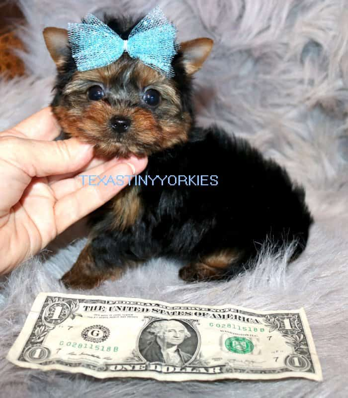 Meet Our Recently Sold Puppies - Tiny Teacup Yorkies for Sale