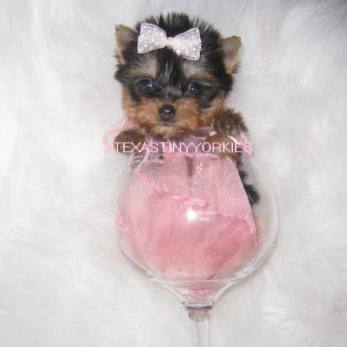 Looking for Tiny Teacup Yorkshire Terriers? Look no further.