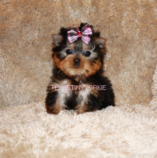 Beautiful Yorki pup for sale in Texas - Texas Tiny Yorkies