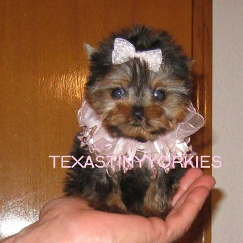 Beautiful Micro Teacup Female Yorkie for Sale - Texas Tiny Yorkies