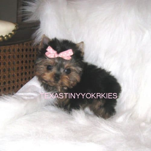Beautiful female yorkie for sale posing on a couch